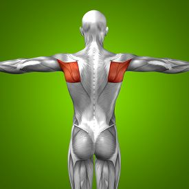 picture of triceps brachii  - Concept or conceptual 3D back human anatomy or anatomical and muscle on green gradient background - JPG