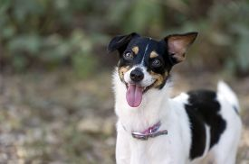 picture of wacky  - Funny goofy wacky crazy looking dog is wild eyed with tongue out while playing outdoors - JPG