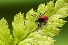 stock photo of ixodes  - The castor bean tick, sheep tick (Ixodes ricinus) ** Note: Soft Focus at 100%, best at smaller sizes - JPG