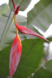 picture of heliconia  - Close up of red and yellow Heliconia Pendula Hanging Crab Claw Flower seen in Indonesia Sulawesi - JPG