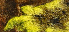 stock photo of algae  - Ulva intestinalis algae grow on a sea level rocks archipelago of Finnish bay - JPG