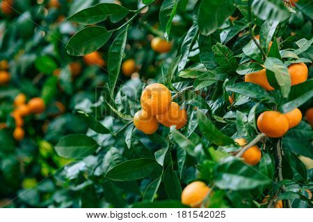 poster of Orange mandarin on the tree. Ripe tangerine. Montenegrin mandarin trees. Home tangerine garden. A lot of fruit on the tree. Already ripe.