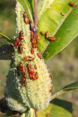 foto of winnebago  - A group of Milkweed bugs  - JPG