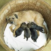 stock photo of border terrier  - female dog with puppies  - JPG