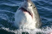 foto of great white shark  - A Great White shark taken off the coast of Gansbaai South Africa near Cape Town - JPG