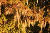 pic of tillandsia  - Spanish Moss  - JPG