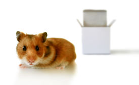 picture of thinking outside box  - adorable little hamster outside of a white box over white - JPG
