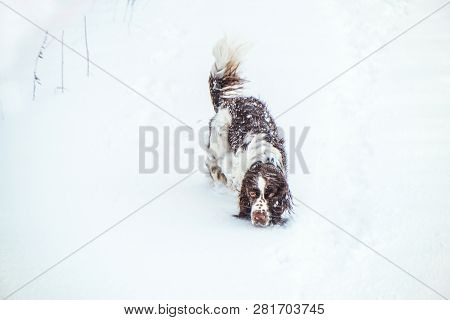 Happy Springer Spaniel Dog Follows
