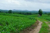 Road And Corn In The Rainy Season.agriculture In The Rainy Season And Corn In The Farm. poster