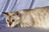 image of bengal cat  - Portrait of snow bengal cat staring at side - JPG