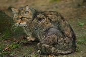 European wildcat (Felis silvestris silvestris). Wildlife animal. poster