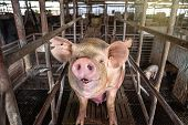 One Pig In Hog Farms, Pig Industry poster
