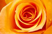 Orange Rose Background