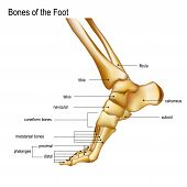 Foot With Ankle. Realistic Skeleton Of Human Leg With Titles Of Bones Anatomy Of Joints, Medial Aspe poster