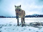 Isabella White Horse In Snow. Winter Life In Horse Range. Thoroughbred Horse. Beautiful Horse. poster