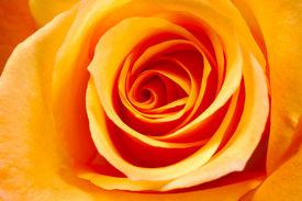 stock photo of rose flower  - orange rose background - JPG