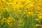 pic of goldenrod  - A bumblebee on a goldenrod plant in an autumn field - JPG