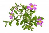 image of hermaphrodite  - Paper thin pink flowers of the Rockrose or Cistus albidus - JPG