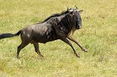 Blue Wildebeest Running