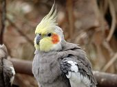 pic of cockatiel  - this is a closeup of a cockatiel - JPG