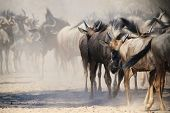 Blue Wildebeest - Wildlife Background from Africa - Dust and Horns