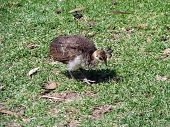 stock photo of peahen  - the peahen chick is looking for food in the grass - JPG