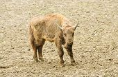 picture of aurochs  - one young bison in their natural habitat - JPG