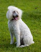 pic of standard poodle  - Standard sized poodle on the lawn with wind blowing her hair - JPG