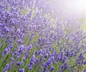 picture of differential  - Beautiful lavender field with sun flare and shallow depth of field differential focus technique - JPG