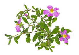 picture of hermaphrodite  - Paper thin pink flowers of the Rockrose or Cistus albidus - JPG