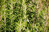 Aromatic Herbs - Rosemary In Field