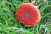 picture of grebe  - Inedible mushroom - JPG