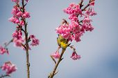 White-eye Bird On Cherry Blossom