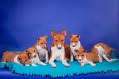 picture of puppies mother dog  - Litter of basenji puppies - JPG