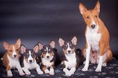 pic of puppies mother dog  - Little Basenji puppies - JPG