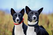 Two basenjis on meadow poster