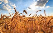 stock photo of angles  - Grain field against blue sky, wide angle view. ** Note: Visible grain at 100%, best at smaller sizes - JPG