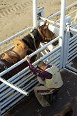 picture of brahma-bull  - A cowboy prepares for a saddle bronc ride - JPG