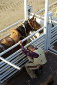 stock photo of brahma-bull  - A cowboy prepares for a saddle bronc ride - JPG