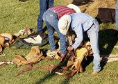 stock photo of brahma-bull  - Rodeo riders getting ready to perform - JPG