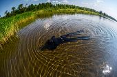 image of spearfishing  - Spearfisher in black wetsuit moving on shallow part of the lake towards reed thicket - JPG