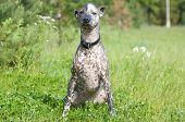 stock photo of mexican-dog  - Xoloitzcuintle  - JPG