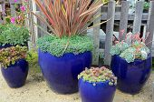 pic of planters  - Blue ceramic planters filled with cacti plants - JPG