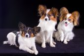 image of epagneul  - Three dogs of breed papillon isolated on a white background - JPG