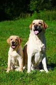 picture of puppies mother dog  - Labrador retriever - JPG
