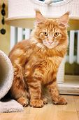 stock photo of coon dog  - Maine Coon Kitten playing befor the scratching post - JPG