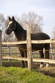 pic of thoroughbred  - Thoroughbred saddle horse looking overthe corral fence - JPG