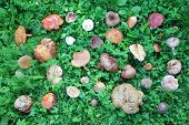 pic of edible mushroom  - A birds eye view of a large group of picked edible and inedible wild forest mushrooms arranged on green grass - JPG
