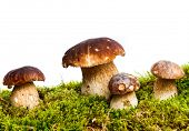 pic of boletus edulis  - Four mushrooms Boletus edulis  - JPG