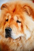 stock photo of chow  - Red Chines chow chow dog close up portrait - JPG